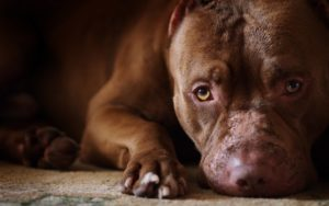 278723-dogs-pit-bull-wallpaper