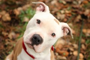 cute-pitbull-dog-pics