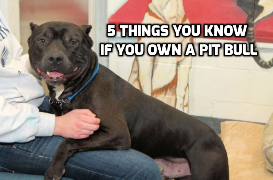 5-things-know-pit-bull