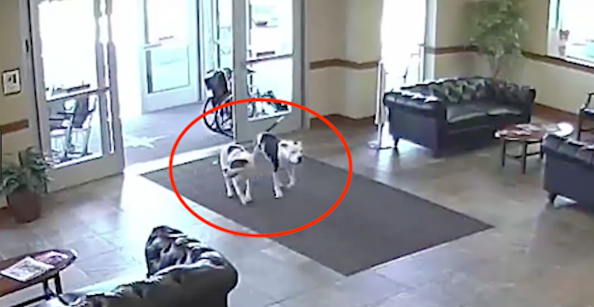2-friendly-pit-bulls-wandered-into-the-hospital